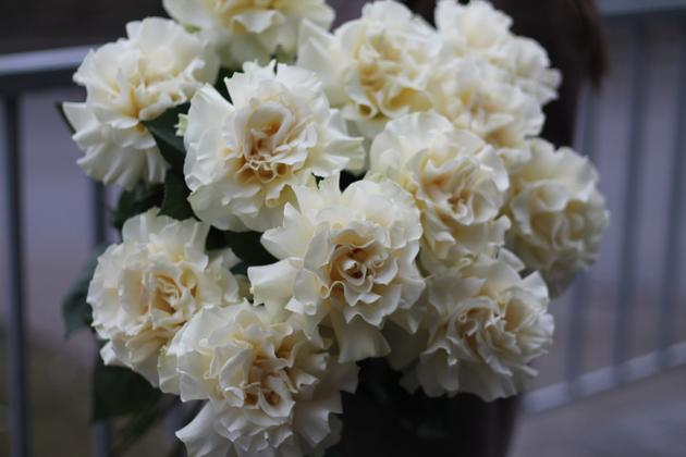 Французская роза белая