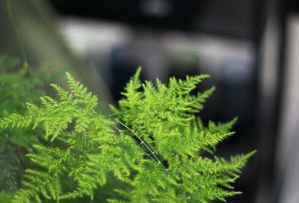 Аспарагус (Asparagus setaceus)