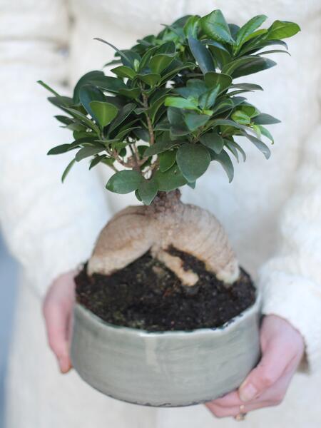 Фикус женьшень маленький (Ficus Ginseng Ceramic)