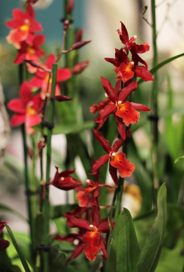 Орхидея Цимбидиум Парфюмированная