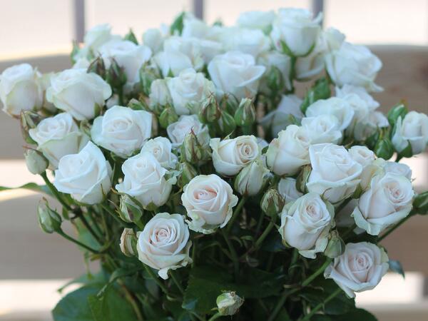 Кустовая роза Royal Porcelina