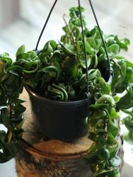 Хойя прекрасная (Hoya bella)
