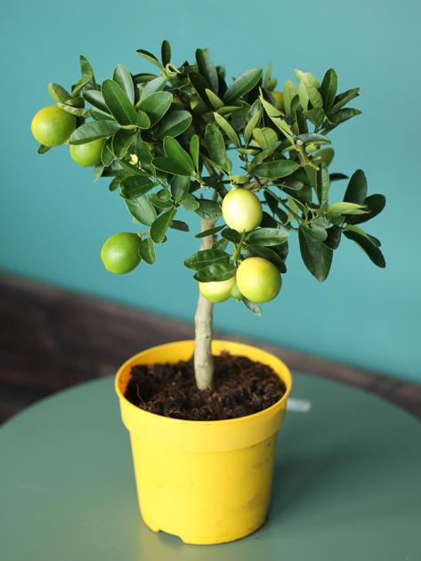 Лаймкват (Limequat)