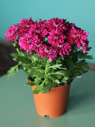 Chrysanthemum (Хризантема)