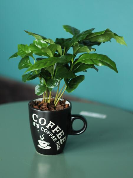 Кофе (Coffea In Mok+Bark)