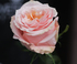 Роза Shimmer