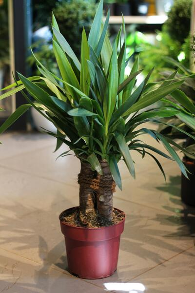 Yucca Elephantipes (Юкка Элефантис)