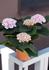 Гортензия крупнолистная Революшн (Hydrangea Magical Revolution Pink)