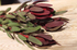 Leucadendron