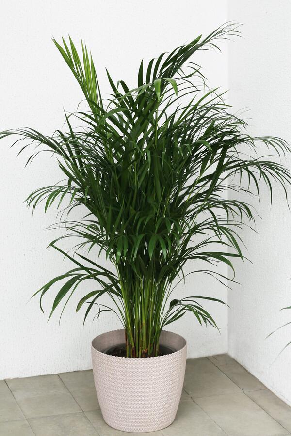 Дипсис желтоватый (Dypsis Lutescens Areca)