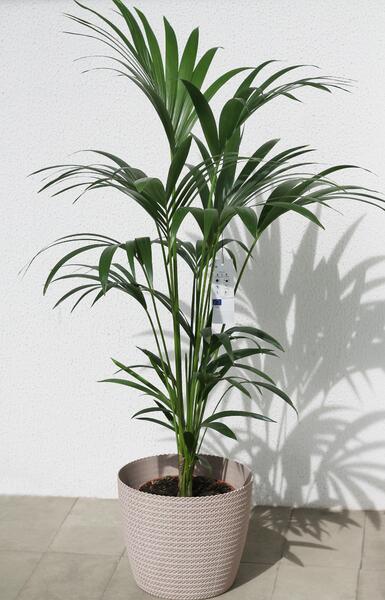Ховея Форстера(Howea Forsteriana)