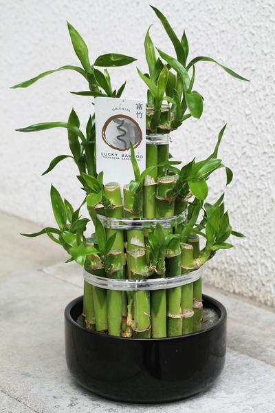 Bamboo (Бамбук) в кашпо
