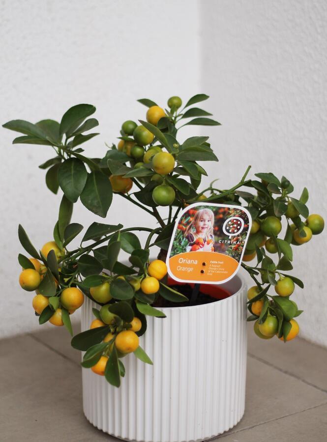 Каламондин (Citrus Calamondin)