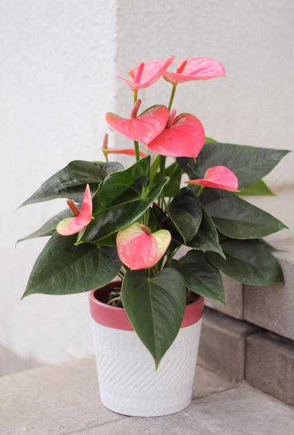 Антуриум в кашпо розовый