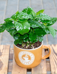 Кофе (Coffea in koffiemok)