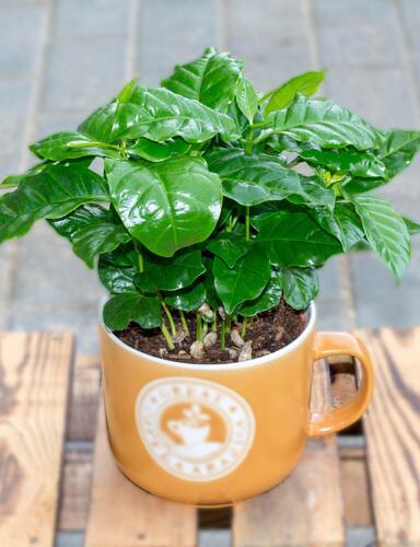 Кофе (Coffea in koffiemok)