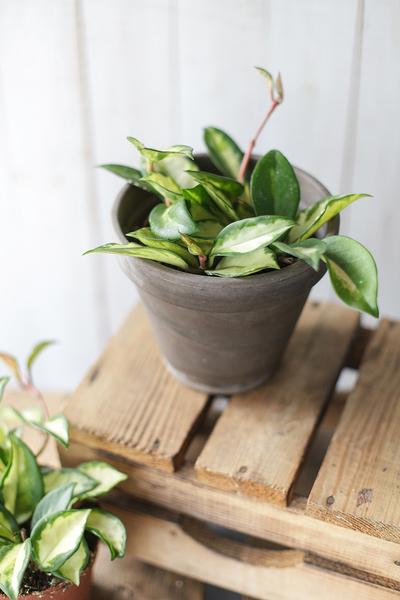 Хойя Карноза (Hoya carnosa)