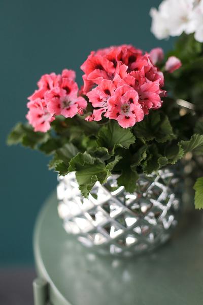 Пеларгония Грандифлора Pelargonium