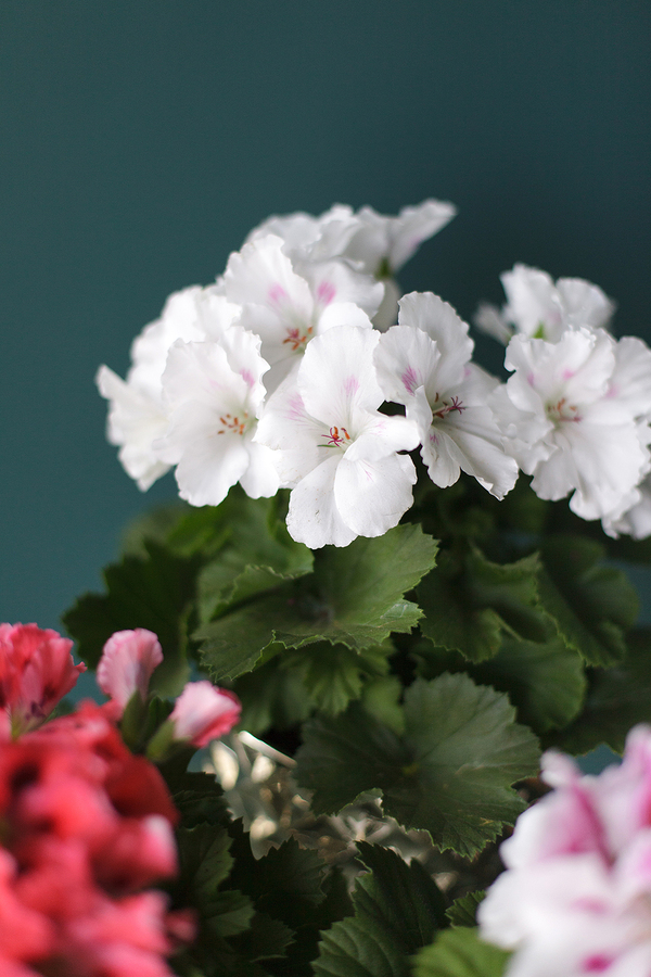 Пеларгония Pelargonium
