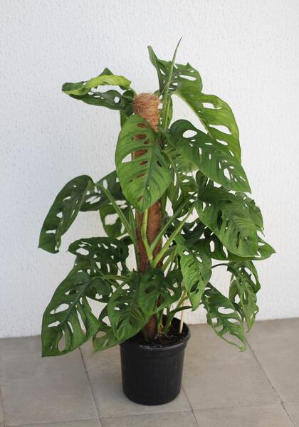 Monstera Monkey Leaf (Монстера Манки Лиф)