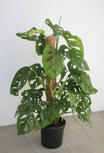 Monstera Monkey Leaf (Монстера Манки Лиф)
