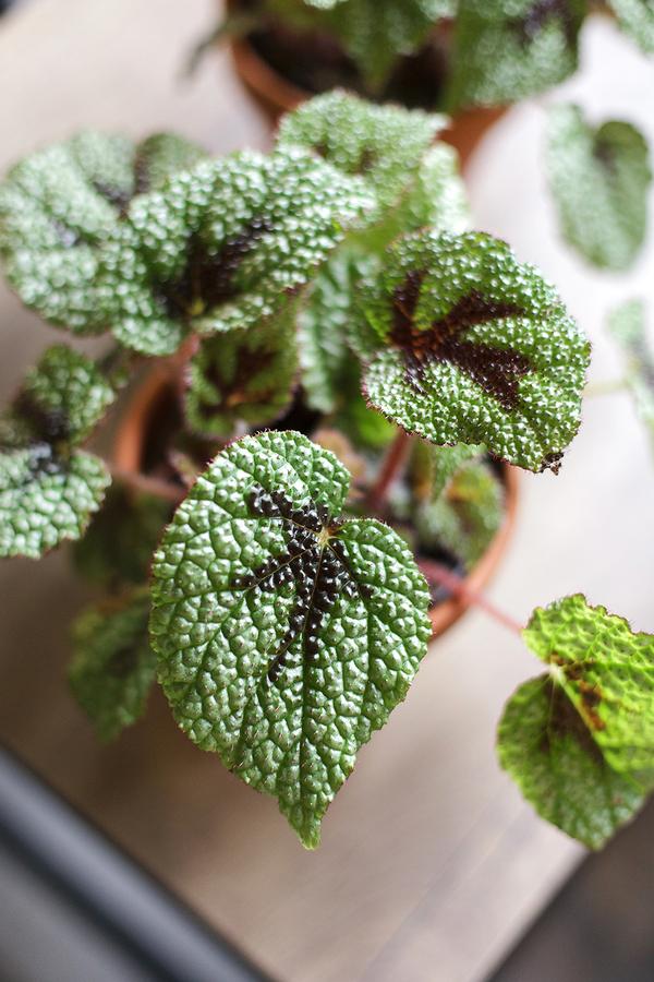 Бегония Мэсона (Begonia masoniana)