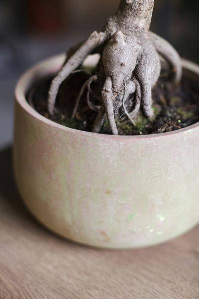 Фикус женьшень в керамике (Ficus Ginseng in Ceramic)