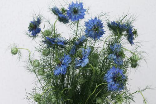 Nigella (Нигелла синяя)
