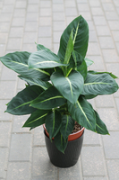 Dieffenbachia Green Magic (Диффенбахия Грин Мэджик)