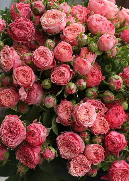 Роза кустовая Coral Yo-yo (Корал Йо-йо)