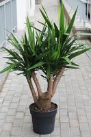 Yucca Vertakt (Юкка Вертакт)