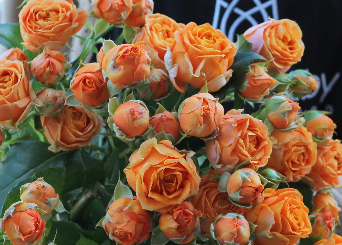 Роза кустовая Coral Bubbles (Корал Баблс)