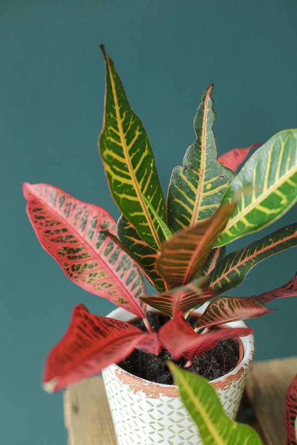Кодиеум пестрый Нервия (Codiaeum variegatum Nervia)