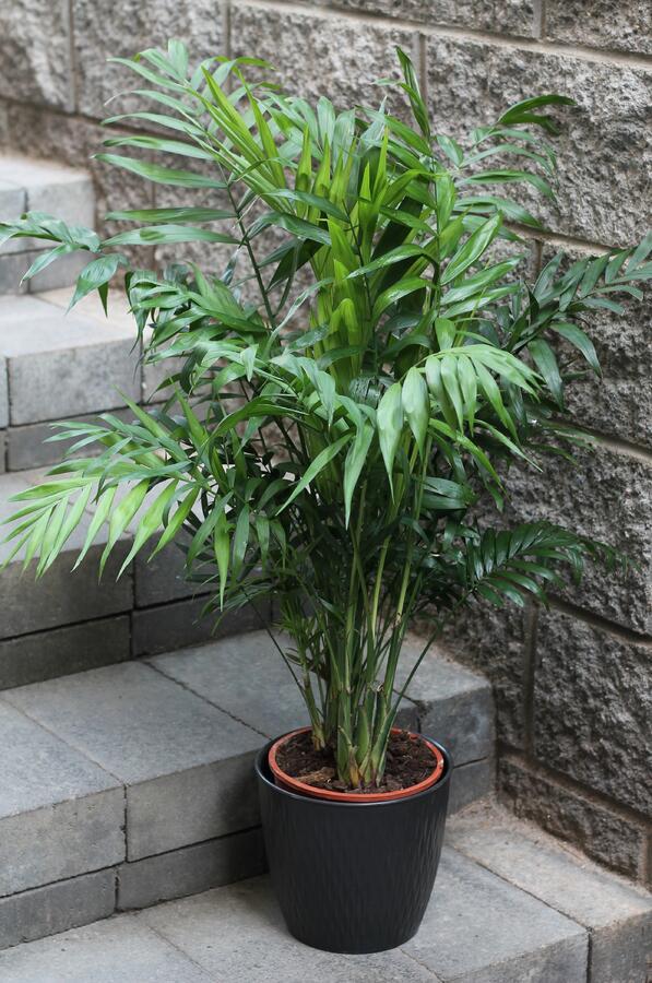 Хамедорея изящная (Chamaedorea Elegans)
