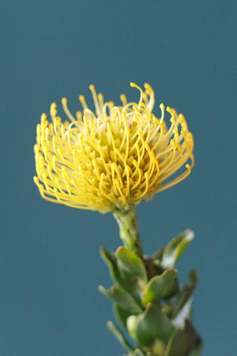 Леукаспермум желтый