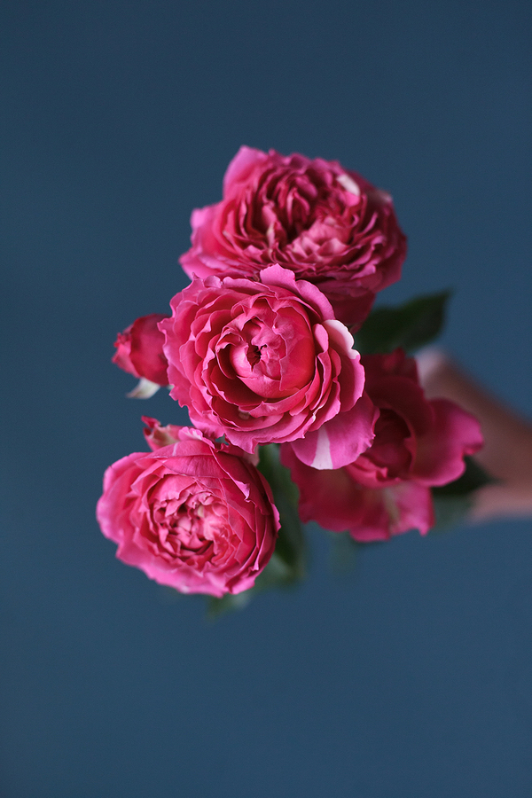 Кустовая пионовидная роза Джульетта Цериз (Julietta Cerise)