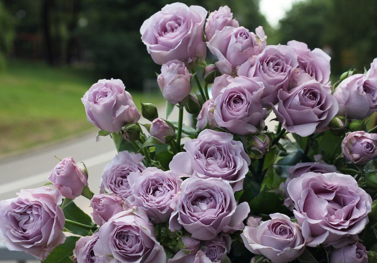 Роза кустовая Sterling Sensation