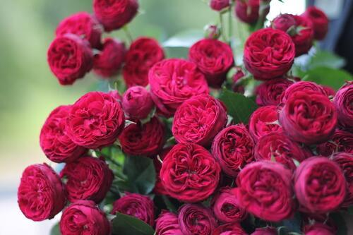 Роза кустовая Maroon