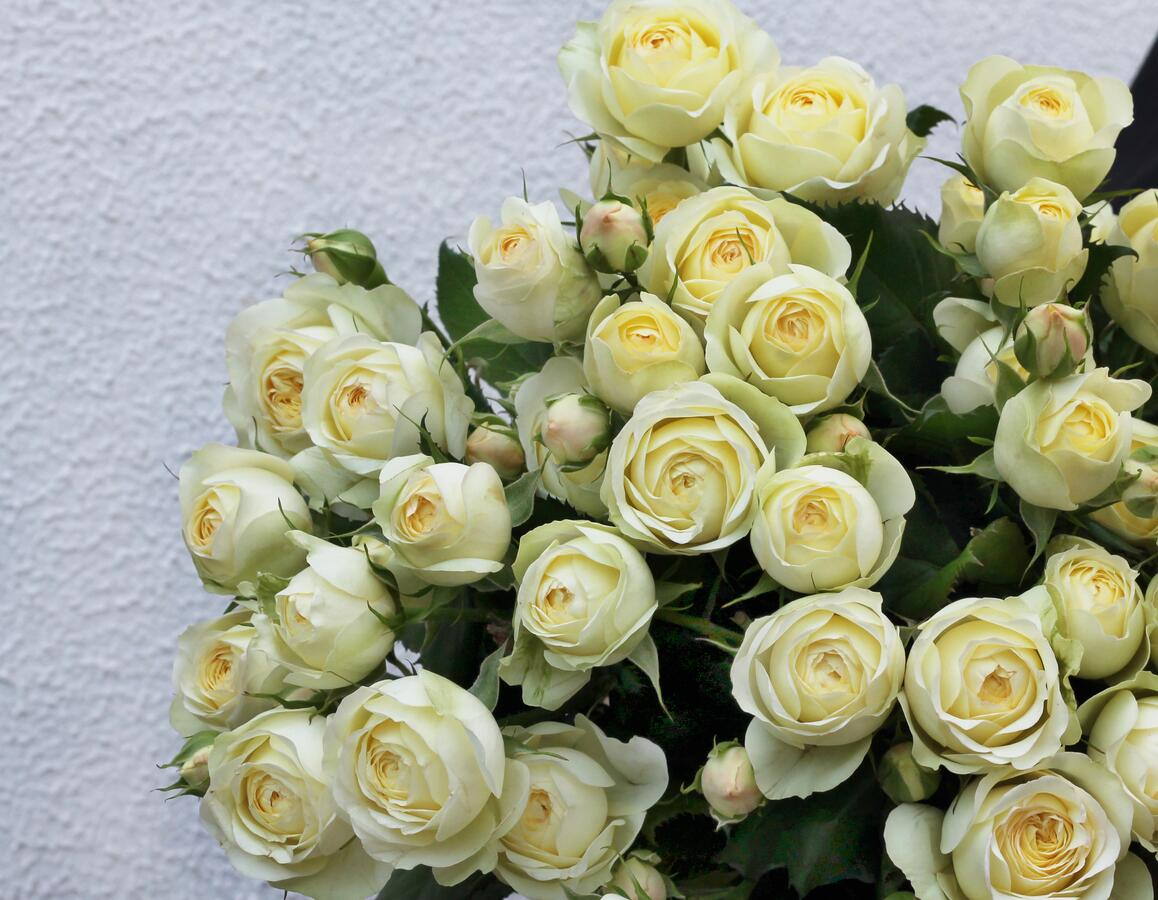 Роза кустовая Wedding Yo-Yo