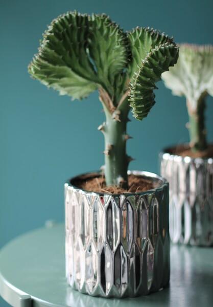 Эуфорбия Лактея (Euphorbia Lactea)