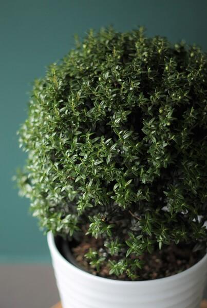 Мирт (Myrtus) 40 см