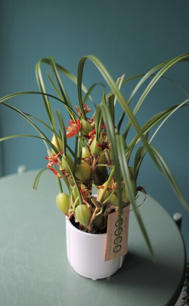 Орхидея Максиллярия (узколистная)