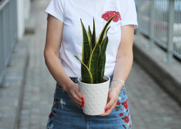 Sansevieria laurentii (Сансевиерия)