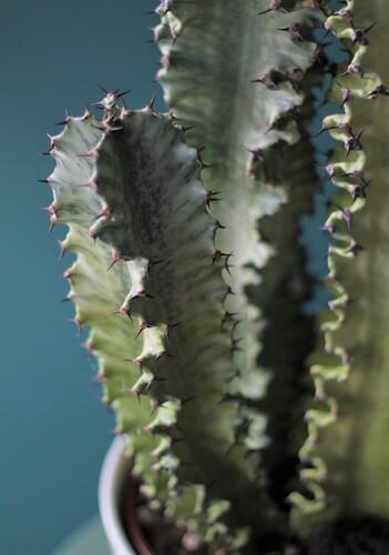 Кактус Эуфорбия 90 см