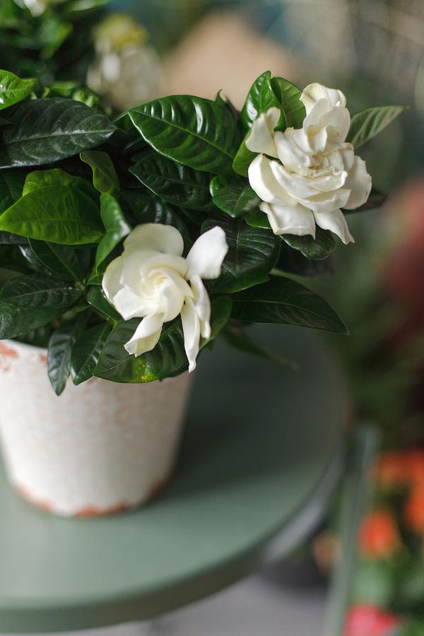 Гардения белая (Gardenia)