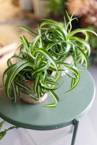Хлорофитум Бонни(Chlorophytum comosum bonnie)