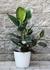 Фикус каучуконосный (Ficus elastica)