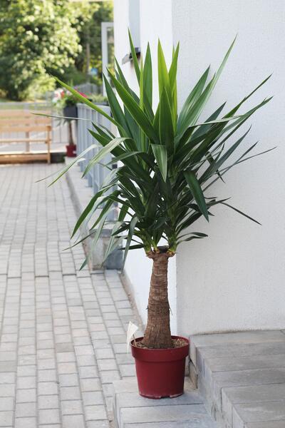 Yucca MAYA (Юкка Майя)