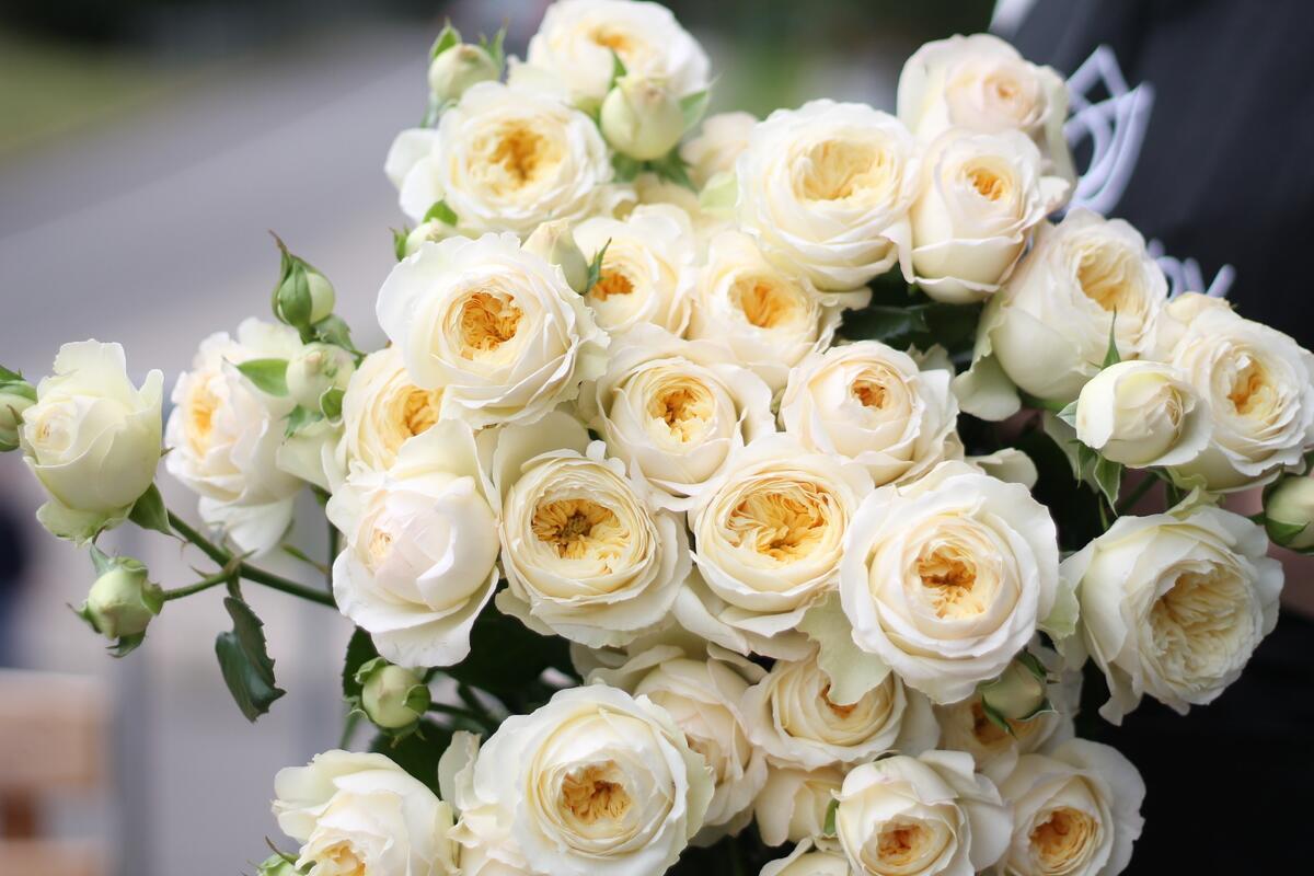 Кустовая роза Royal Park