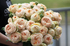 Роза кустовая Sweet Catalina (Свит Каталина)